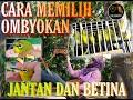 Cara Memilih Pleci Ombyokan Jantan Atau Betina  Mp3 - Mp4 Download
