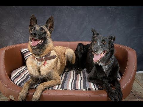 Ember & Ollie - Belgian Malinois & Saluki x Greyhound - 4 Weeks Training
