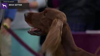 Setters (Irish) | Breed Judging 2020