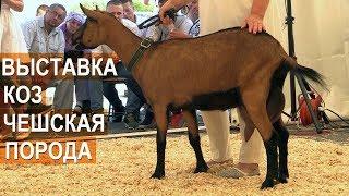 Чешская порода коз. Оценка экстерьерных качеств. Всероссийская выставка молочного козоводства.