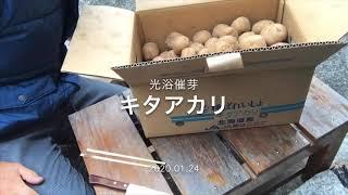 2020.01.24 キタアカリの種芋を催芽させる準備しました。 昔ながらの野菜を無農薬で育てています(2011〜) 阪急六甲の鍼灸院前で直売しています(火...