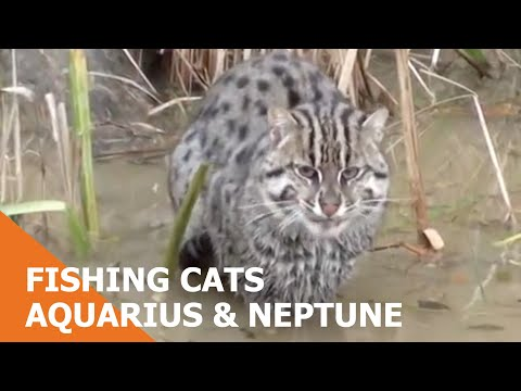 Fishing Cats Aquarius & Neptune
