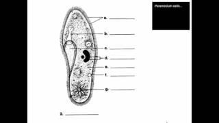 SCI7/8 - Protist Diagrams