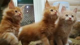 Кошки мейн кун из питомника | Большие кошки мейн кун | Котята мейн кун из питомник