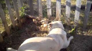 Livestock Guardian Dog Anatolian Shepherd Bonding With Baby Chicks