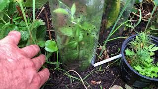 How to grow Stephanotis floribunda from cutting, Cum putem creste Iasomie de Madagascar di ...