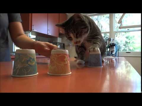 Alice the cat plays cup game