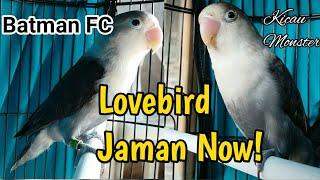 Lovebird Jaman Now Batman Fischery | Firman Bird Farm