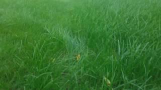Семена газона надо перемешивать(Перед тем, как посеять семена газонной травы, надо их тщательно перемешать. Иначе семена на дне мешка будут..., 2016-07-31T16:32:00.000Z)