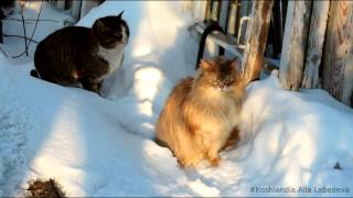 Siberian cats На ДОРОЖКе Сибирские кошки  6 марта 2015