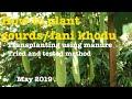 How to grow Bottle Gourds, fani Khodu, Doodi - Transplanting (Vegetable Gardening)