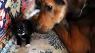 Сиамская кошка Алиса и ее котята /Собака Герда привязалась к котятам, облизывает как щенят.../
