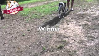 Toronto Dog Training Great Dane Ultimate Down Stay
