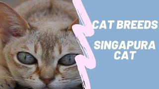 SINGAPURA CAT BREEDS