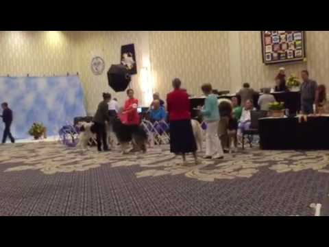 Borzoi Club of America 2017 National specialty