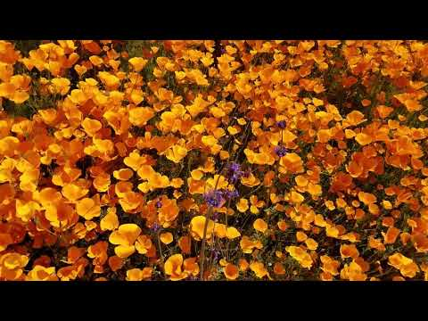 ASMR Poppy Super Bloom Video At Lake Elsinore, California