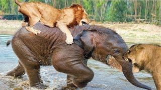 مجموعة أسود تنصب كمين محكم لإصطياد فيل صغير 🐘 - شاهد المفاجأة