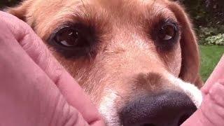Make Easy Dog Treat Toy With Beagle Dixie