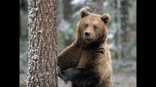 Кто РАЗОРВАЛ и СЪЕЛ медведя. Рассказ охотника.