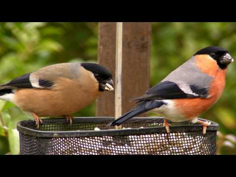 Bullfinch Basket - Wildlife in Cornwall - Bouvreuil Pivoine