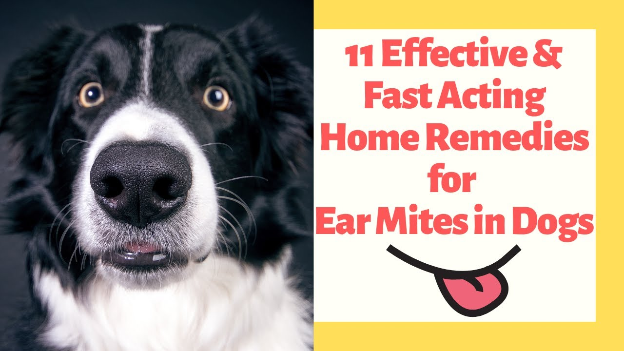 What Everyone Outta Know About Home Remedies for Ear Mites