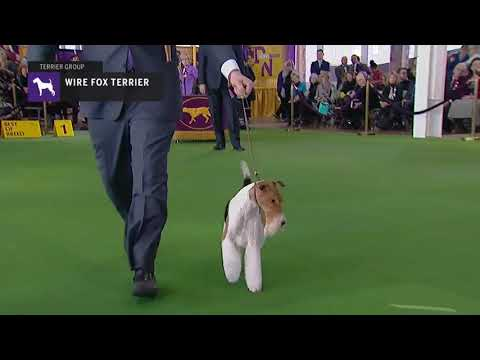 Wire Fox | Breed Judging 2019