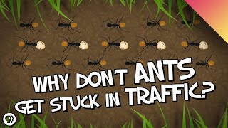 Why Don't Ants Get Stuck In Traffic?