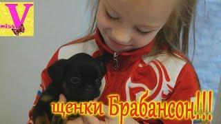 ВЛОГ щенки БРАБАНСОН красивая порода собак кормим и граем с щенками dog Brabancon//мисс Вика
