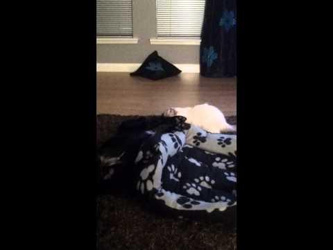 Ragdoll Cat & Spaniel play fight