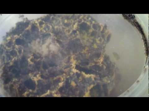 Atta spp Nest !! Video 7