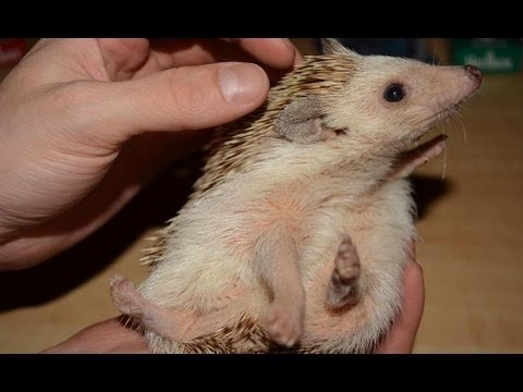 Hedgehog Temperature / Heating Requirements - YouTube