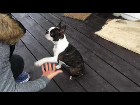 Boston terrier puppy gives a paw