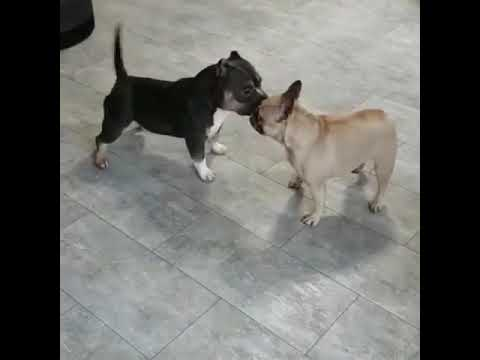 French Bulldog And Micro Bully Engage In Funny Battle Dance 1023804