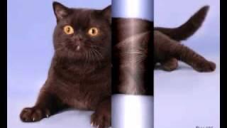 Британский шоколадный кот Жорж Бруне