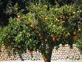 L'oranger : culture, plantation, taille, greffage, entretien et récolte