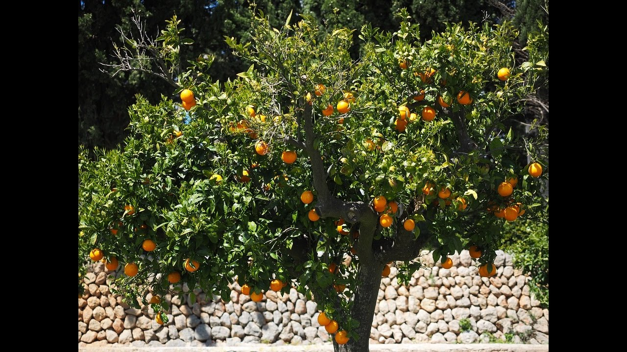 L Oranger Culture Plantation Taille Greffage Entretien Et Recolte Youtube
