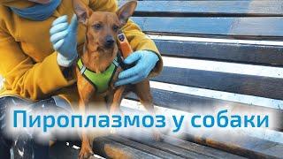 Пироплазмоз у собаки.  Признаки и способы защиты