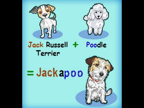 Personality Traits of a Jack Russell Terrier and Poodle Mix Jackapoo