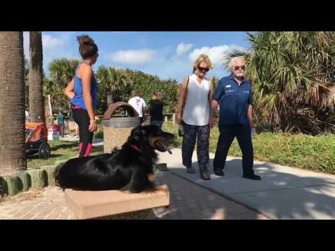 "3yr Old Miniature Australian Shepherd ""Bella"" 