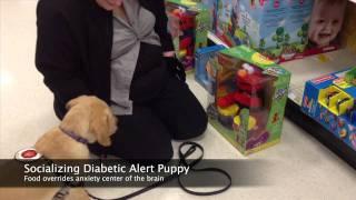 Diabetic Alert Dog Puppy Training - Socialization - Seattle Puppy Classes