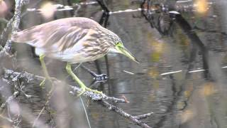 Rallhäger (Ardeola ralloides) - Squacco heron