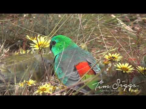 Red Rumped Parrot Psephotus haematonotus) HD Video clip 1/1