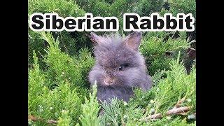 Siberian Rabbits jumping in Three (Juniperus)