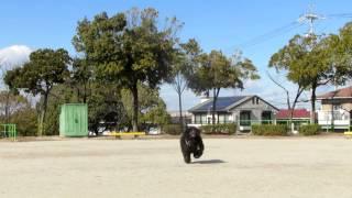2004年3月22日生まれのQUEEN.久しぶりに公園で呼び込みの復習を...