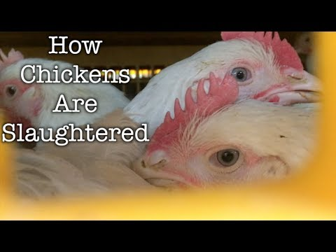 How Chickens Are Slaughtered