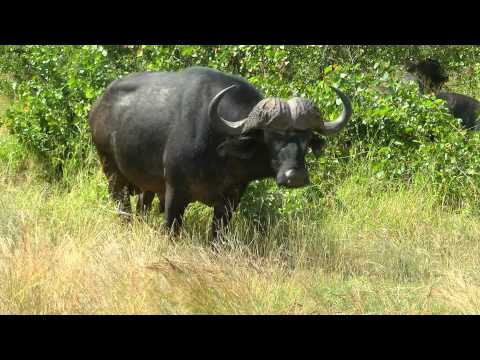 SOUTH AFRICA african buffalo, Kruger national park (hd-video)