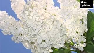 White Lilac | Best Of White Folwer Picture Collection - Phula Pics