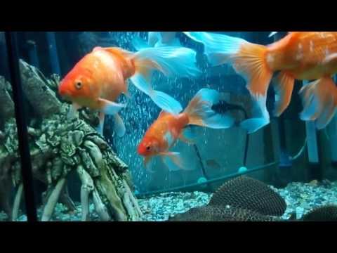 Содержание Комет Золотых рыбок.