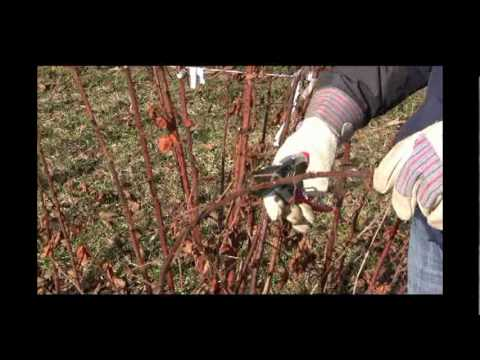 How To Care For Winter Killed Blackberry Plants In Spring Season Gurney S Video