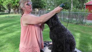 Portuguese Water Dog Gets A Retriever Cut
